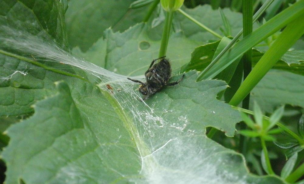 Tote Spinne im Netz