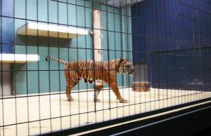 Hinterindischer Tiger im Zoo hinter Gittern