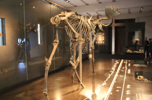 Elch Skelett