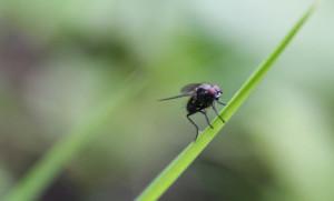 Fliege auf Grashalm