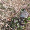 Kreuzenzian-Ameisenbläuling