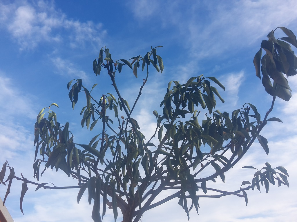 Kumquat-Baum