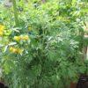 Sennespflanze