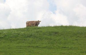 Kuh Weide