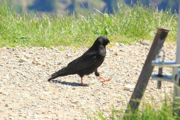 Bergdohle-marschiernder-vogel-1